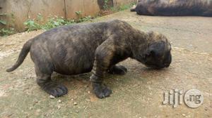 Baby Female Purebred Boerboel | Dogs & Puppies for sale in Enugu State, Enugu