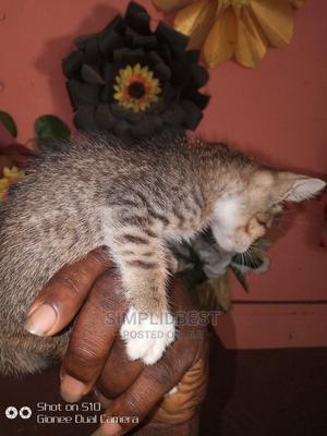 0-1 Month Male Mixed Breed American Shorthair   Cats & Kittens for sale in Lagos State, Shomolu