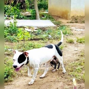 1+ Year Male Purebred American Pit Bull Terrier | Pet Services for sale in Lagos State, Epe