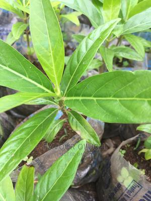 Dwarf Noni Seedlings | Feeds, Supplements & Seeds for sale in Lagos State, Ikotun/Igando