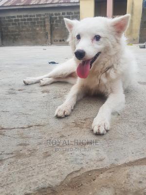 1+ Year Male Purebred American Eskimo | Dogs & Puppies for sale in Ekiti State, Ado Ekiti