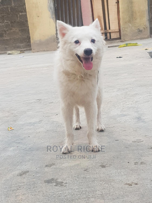 1+ Year Male Purebred American Eskimo | Dogs & Puppies for sale in Ado Ekiti, Ekiti State, Nigeria