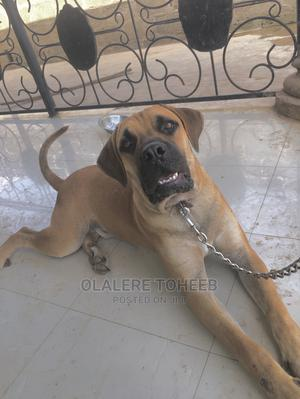 1+ Year Male Purebred Boerboel   Dogs & Puppies for sale in Oyo State, Ibadan