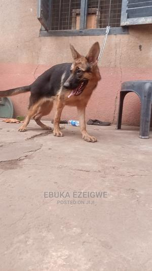 3-6 Month Female Purebred German Shepherd   Dogs & Puppies for sale in Enugu State, Enugu