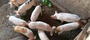 Piglets For Sale   Livestock & Poultry for sale in Kwara State, Irepodun-Kwara