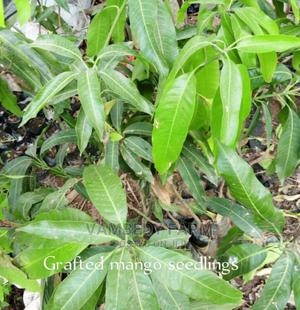 Grafted Dwarf Mango Seedlings | Feeds, Supplements & Seeds for sale in Oyo State, Ibadan