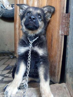 1-3 Month Male Purebred German Shepherd   Dogs & Puppies for sale in Lagos State, Ikorodu