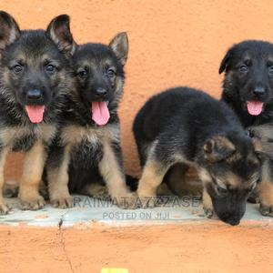 1-3 Month Female Purebred German Shepherd | Dogs & Puppies for sale in Lagos State, Surulere