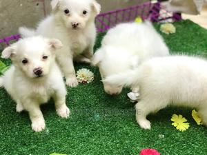 1-3 Month Female Purebred American Eskimo   Dogs & Puppies for sale in Lagos State, Alimosho