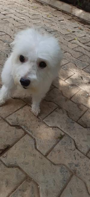 1+ Year Female Purebred Lhasa Apso   Dogs & Puppies for sale in Abuja (FCT) State, Gwarinpa