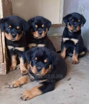 1-3 Month Female Purebred Rottweiler | Dogs & Puppies for sale in Lagos State, Yaba