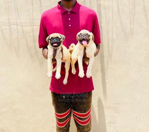 1-3 Month Male Purebred Pug | Dogs & Puppies for sale in Lagos State, Ikorodu