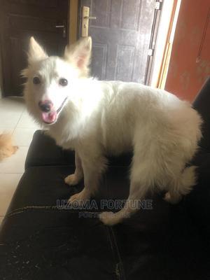 3-6 Month Female Purebred American Eskimo   Dogs & Puppies for sale in Lagos State, Amuwo-Odofin