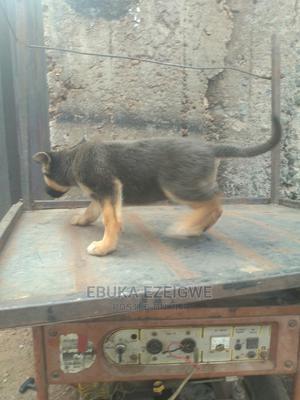 1-3 Month Female Purebred German Shepherd   Dogs & Puppies for sale in Enugu State, Enugu