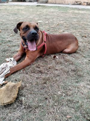 1+ year Male Purebred Boerboel | Dogs & Puppies for sale in Lagos State, Alimosho