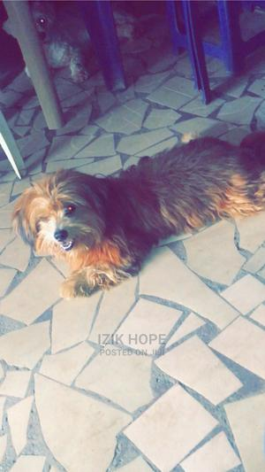 1+ Year Male Purebred Lhasa Apso | Dogs & Puppies for sale in Lagos State, Ikeja