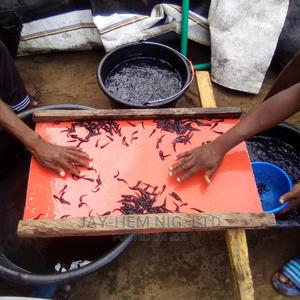 Catfish Fingerling for Sale(10,000 Pcs) | Livestock & Poultry for sale in Lagos State, Agbara-Igbesan