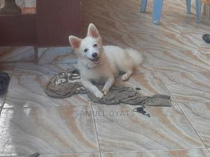 6-12 Month Male Purebred American Eskimo | Dogs & Puppies for sale in Lagos State, Egbe Idimu