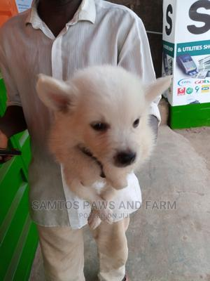 1-3 Month Male Purebred American Eskimo | Dogs & Puppies for sale in Ogun State, Abeokuta South