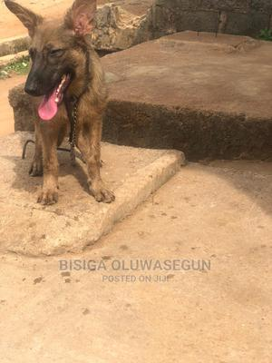 3-6 Month Female Purebred German Shepherd   Dogs & Puppies for sale in Lagos State, Alimosho