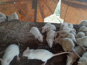 Albino Rats / Wistar Rats / Lab Rats / White Rats for Sale | Other Animals for sale in Enugu State, Nsukka