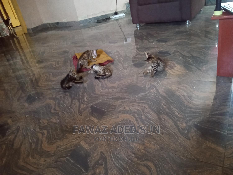 Archive: 1-3 Month Male Purebred Cat