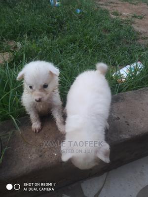 1-3 Month Female Purebred American Eskimo   Dogs & Puppies for sale in Lagos State, Ipaja