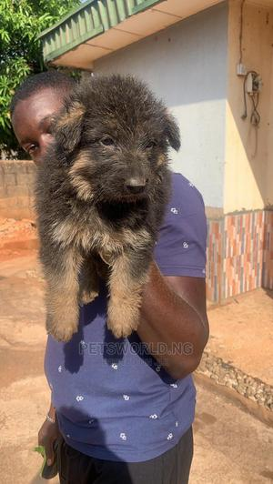0-1 Month Female Purebred German Shepherd   Dogs & Puppies for sale in Lagos State, Yaba