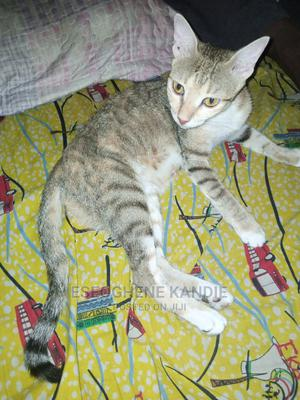1+ Year Female Purebred Cat | Cats & Kittens for sale in Lagos State, Ikeja