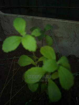 Stevia Seedlings | Feeds, Supplements & Seeds for sale in Lagos State, Agbara-Igbesan