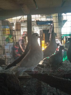 Imported Pigeon | Birds for sale in Lagos State, Lagos Island (Eko)