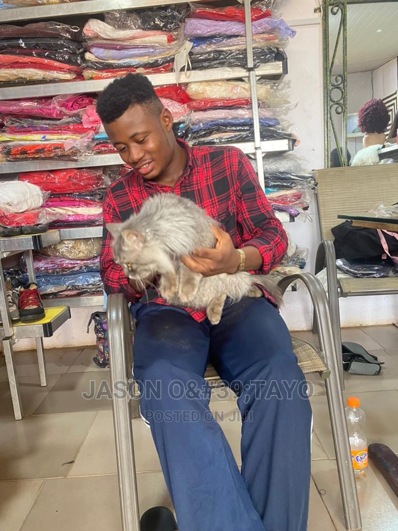1-3 Month Male Purebred Siberian | Cats & Kittens for sale in Ikoyi, Lagos State, Nigeria