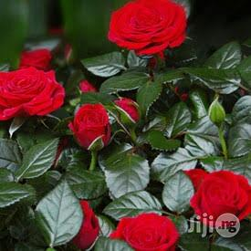 Rose Flower Seedlings Natural Flower Plants Interior Decoration | Garden for sale in Plateau State, Jos