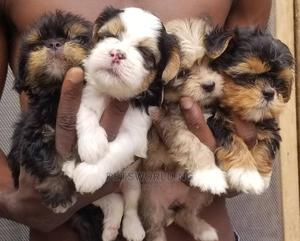 0-1 Month Male Purebred Lhasa Apso | Dogs & Puppies for sale in Lagos State, Yaba