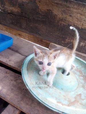 0-1 Month Female Purebred Cat | Cats & Kittens for sale in Lagos State, Ikorodu