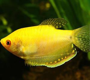 Gourami Fish for Aquarium | Fish for sale in Lagos State, Yaba