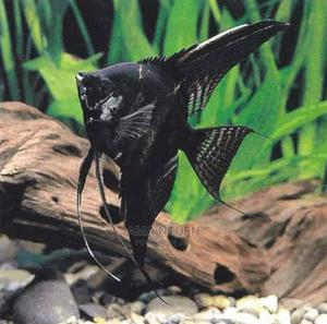 Angel Fish For Aquariums   Fish for sale in Lagos State, Yaba