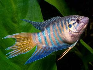 Exotic Paradise Fish For Aquariums   Fish for sale in Lagos State, Yaba