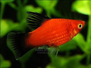 Platy Fish for Aquariums   Fish for sale in Lagos State, Yaba