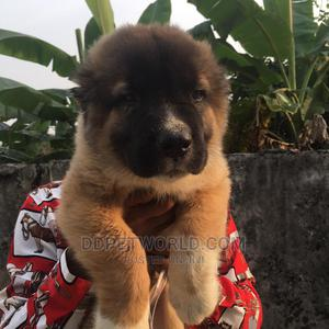 1-3 Month Male Purebred Caucasian Shepherd   Dogs & Puppies for sale in Delta State, Sapele