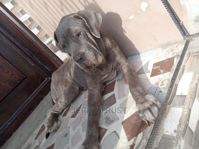 1+ Year Female Purebred Neapolitan Mastiff