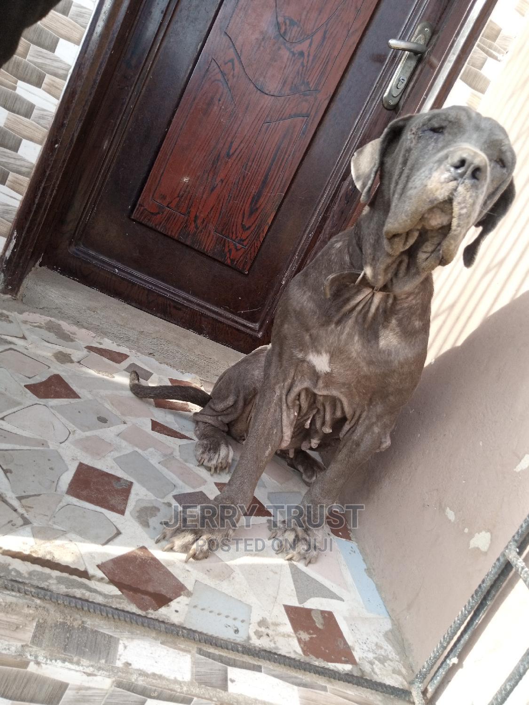 1+ Year Female Purebred Neapolitan Mastiff | Dogs & Puppies for sale in Ojo, Lagos State, Nigeria