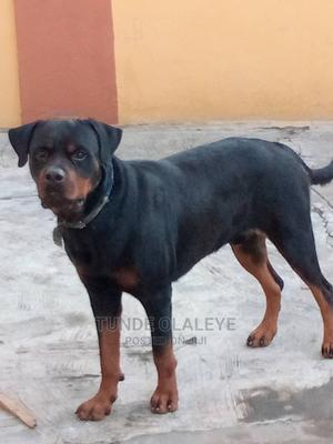 1+ year Male Purebred Rottweiler | Dogs & Puppies for sale in Lagos State, Isolo
