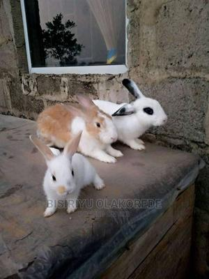 Wearners Rabbits for Sale (Different Breeds)   Livestock & Poultry for sale in Lagos State, Ikorodu