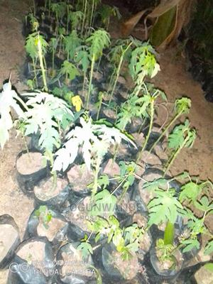 Dwarf and Hybrid Pawpaw Seedlings | Feeds, Supplements & Seeds for sale in Oyo State, Ibadan