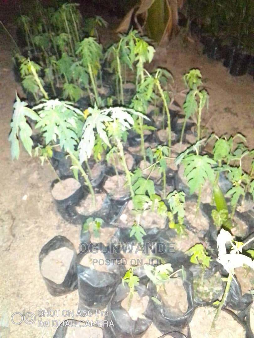 Dwarf and Hybrid Pawpaw Seedlings | Feeds, Supplements & Seeds for sale in Ibadan, Oyo State, Nigeria