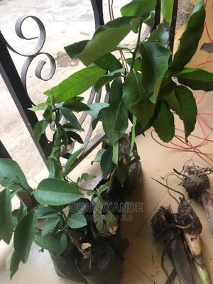 Sweet Orange Seedlings | Feeds, Supplements & Seeds for sale in Oyo State, Ibadan