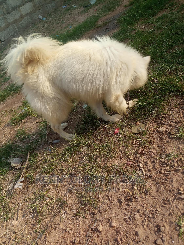 1+ year Male Purebred American Eskimo | Dogs & Puppies for sale in Ibadan, Oyo State, Nigeria