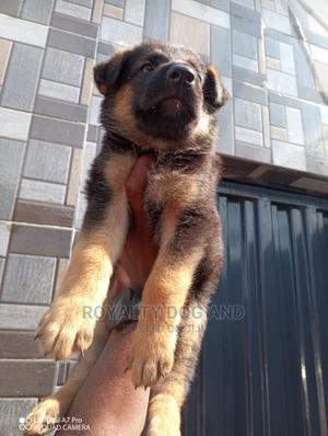 1-3 Month Female Purebred German Shepherd   Dogs & Puppies for sale in Ogun State, Ado-Odo/Ota