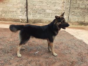 1+ Year Male Purebred German Shepherd | Dogs & Puppies for sale in Edo State, Benin City
